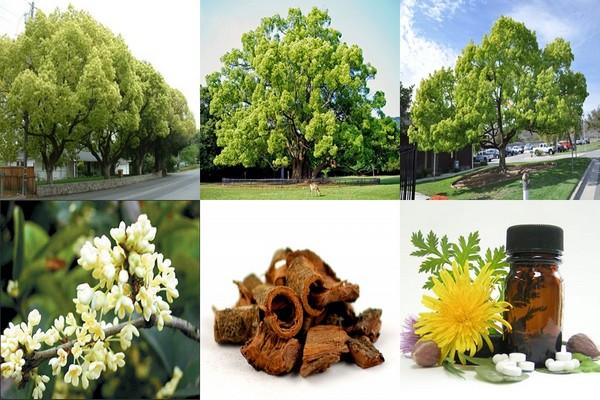 ต้นการบูร ซองละ 5 เมล็ด