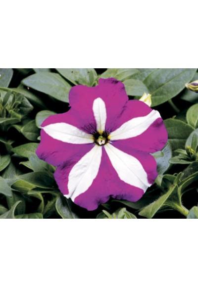 Petunia MultiFlora Tornado Purple Star พิทูเนีย มัลติฟลอร่า ทอร์นาโด เพอร์เพิล สตาร์ / 30 เมล็ด