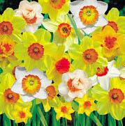ดอก Daffodils seeds (คละสี) / 20 เมล็ด