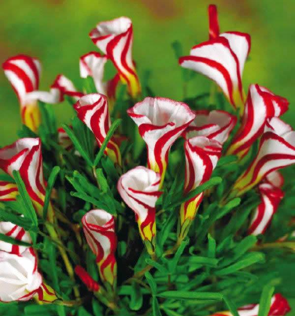 ดอก Oxalis versicolor / 10 เมล็ด