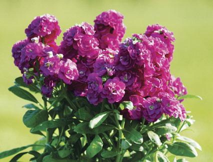 Stock Umbrella Purple สต๊อค อัมเบรลลา เพอร์เพิล / 30 เมล็ด