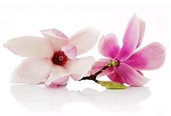 กลิ่นดอกแม็กโนเลีย