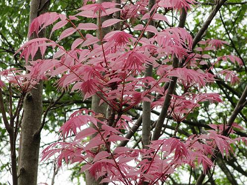 Toona Sinensis (Flamingo Tree)