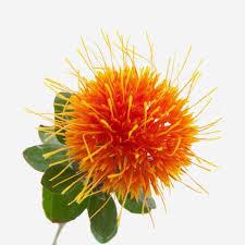 ดอกคำฝอย 30เมล็ด/ซอง